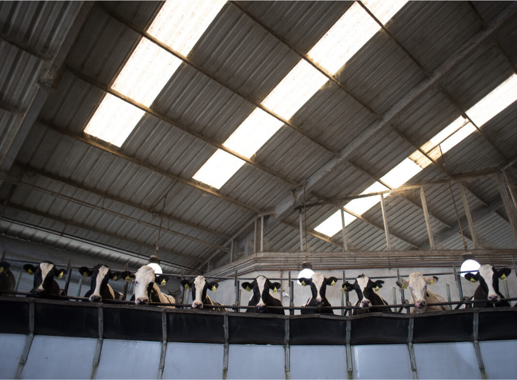Cows In A Milking Parlor In A Line
