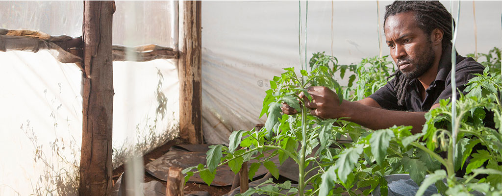 Victor Kipkorir Tending To A Tomato Plant In A Greenhouse