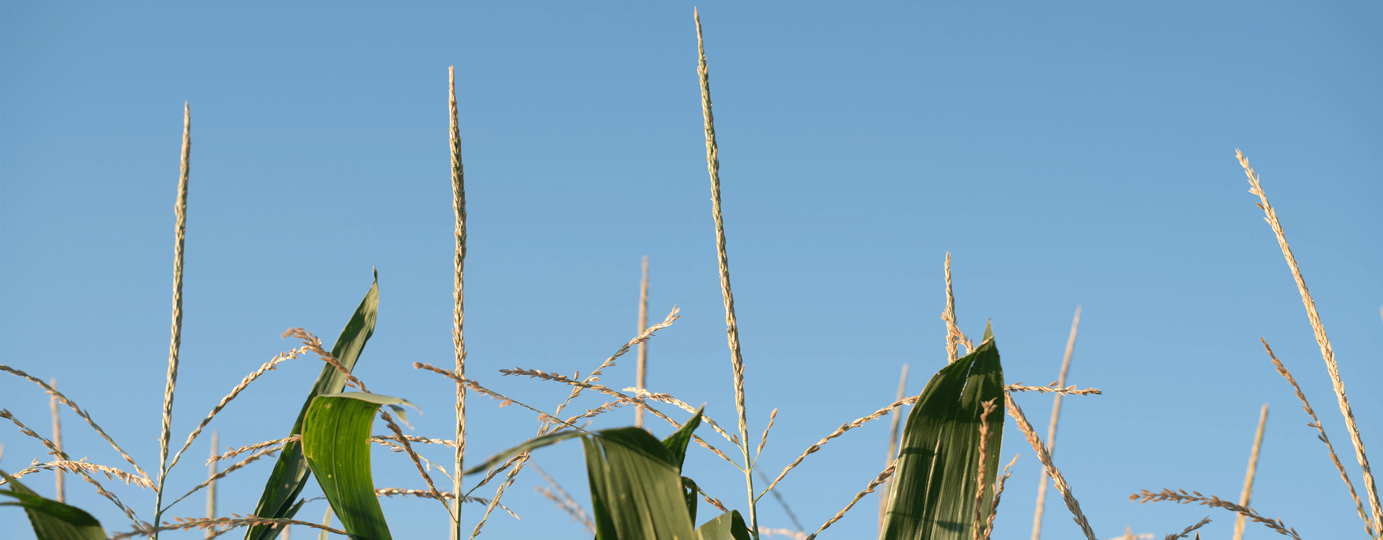 The Tops Of Corn Stalks In A SUSTAIN Field