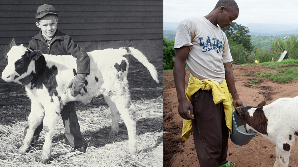Farmers In Rwanda Feeding Cows And An Old Photograph Of A Boy In The United States Feeding A Calf
