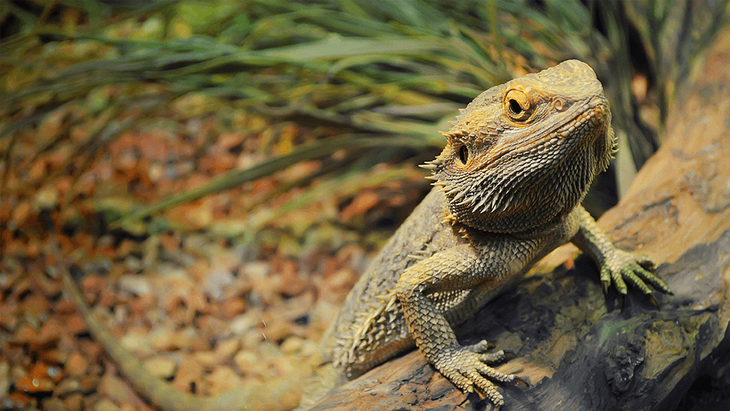 A Bearded Dragon On A Log