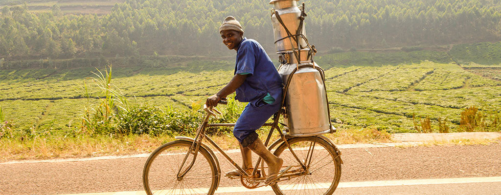 Man In Rwanda Transporting Milk On A Bicycle